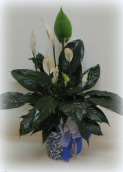 Classic Peace Lily from Lesher's Flowers, local St. Louis Florist since 1973