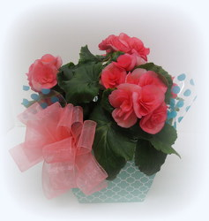 Fancy Begonia from Lesher's Flowers, local St. Louis Florist since 1973