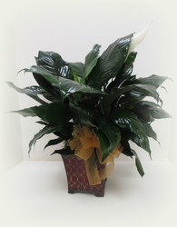 Fancy Peace Lily from Lesher's Flowers, local St. Louis Florist since 1973