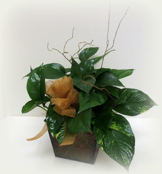 Fancy Pothos from Lesher's Flowers, local St. Louis Florist since 1973