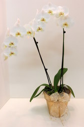 Fancy Orchid from Lesher's Flowers, local St. Louis Florist since 1973