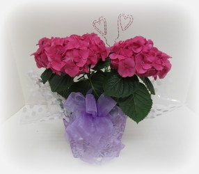 Hydrangea Plant from Lesher's Flowers, local St. Louis Florist since 1973