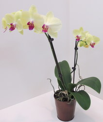 Phalaenopsis Orchid from Lesher's Flowers, local St. Louis Florist since 1973