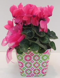 Sassy Cyclamen from Lesher's Flowers, local St. Louis Florist since 1973