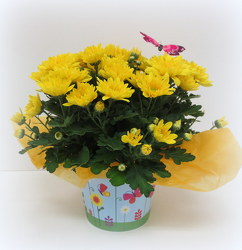 Yellow Daisy from Lesher's Flowers, local St. Louis Florist since 1973