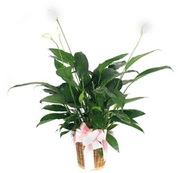 Peace Lily from Lesher's Flowers, local St. Louis Florist since 1973